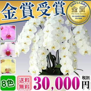 胡蝶蘭 5本立 大輪(40〜45輪) 30,000円(...