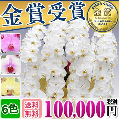 胡蝶蘭10本立ち大輪(100〜110輪)100,000円