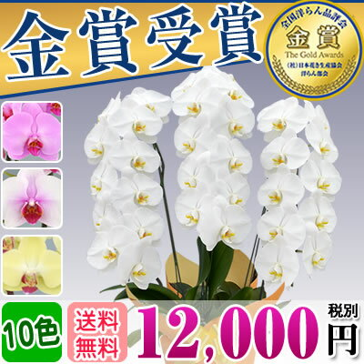 胡蝶蘭3本立ち大輪(27〜30輪)12,000円