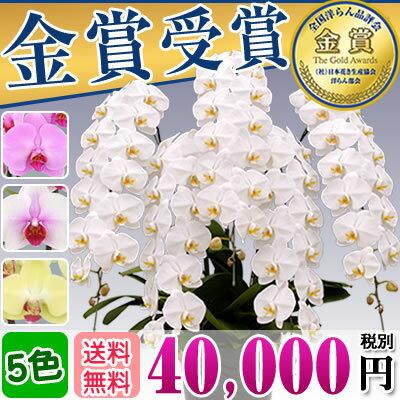 胡蝶蘭5本立ち大輪(50〜60輪)40,000円