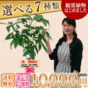 観葉植物10,000円(税別)始めました。開店祝・開院祝 お部屋のインテリアに 全国配送致します。※北海道・沖縄は除く…