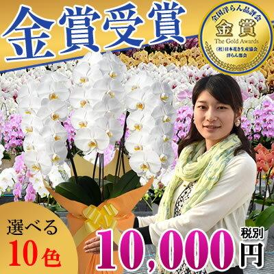胡蝶蘭3本立ち大輪(24〜30輪)