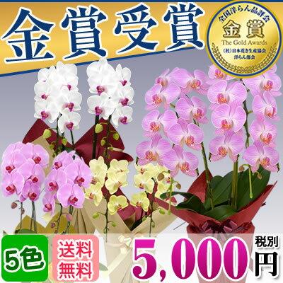 胡蝶蘭ミディミニ2本立ち(10〜20輪)5,000円