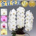 【60代女性】両親の結婚記念日に!贈って喜ばれる胡蝶蘭のおすすめは?