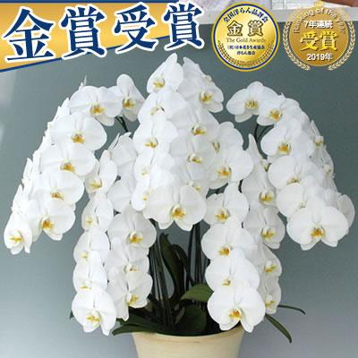 胡蝶蘭5本立ち大輪(40〜45輪)30,000円