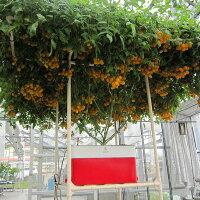 水耕栽培キット・ホームハイポニカSarah(サラ)オレンジベランダで簡単野菜づくり!ハイポニカ肥料付!果菜も葉菜もOK!家庭用の中型サイズで大きく育てる栽培セット【在庫限り】【送料無料】