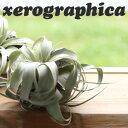 エアープランツ チランジア キセログラフィカ グリーン エアプランツ ティランジア