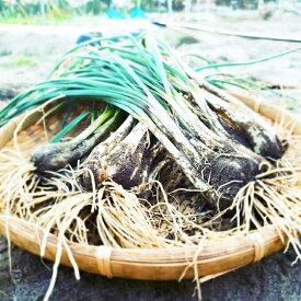 エシャレット土付1kg エシャレット生産量日本一!栽培期間中農薬不使用、化学肥料不使用!安心安全野菜!静岡県浜松市産