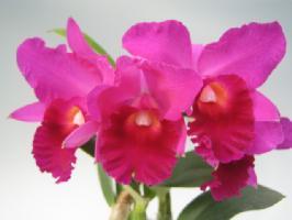 櫻井農園の農場直送【栽培用 花なし株のみ】Lc. Mini Purple × Pot. Vallespin (No30)