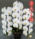 胡蝶蘭 3本立ち 白 大輪36輪(蕾込み)以上【送料無料 税込みで16800円!!】【楽天1位獲得】 花 お供え お祝い …