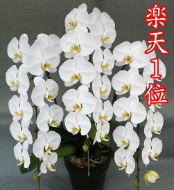 胡蝶蘭 3本立ち 白 大輪36輪(蕾込み)以上【送料無料 税込みで16800円!!】【楽天1位獲得】 花 お供え お祝い コチョウラン こちょうらん