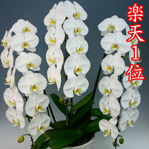 胡蝶蘭 3本立ち 白 大輪40輪(蕾込み)以上【送料無料 税込みで19800円!!】【楽天1位獲得】 花 お供え お祝い コチョウラン こちょうらん