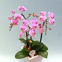 ミディ胡蝶蘭 ピンク、赤系 3本立ち 蘭 花鉢 洋蘭新築祝い 就任祝い 誕生日 お供え お祝い コチョウラン こちょう…
