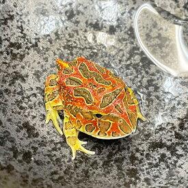 (両生類)ベルツノガエル スーパーレッド(約3-5cm)(1匹)カエル