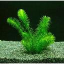 【定形外送料無料】(水草)無農薬アナカリス メダカ 金魚藻 国産 オオカナダモ(10本)