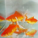 【国産】コメット(素赤)3匹 M 10cm〜13cm前後 川魚 【2点以上5000円以上ご購入で送料無料】