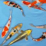 錦鯉Mix(L)鯉色鯉16〜20cm前後1匹