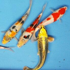 錦鯉MIX(LL)3匹 約21cm〜25cm前後 ニシキゴイ 紅白 昭和三色 光物 銀鱗 ドイツ 白写り べっ甲 秋翠 山吹黄金 松葉 生体 川魚