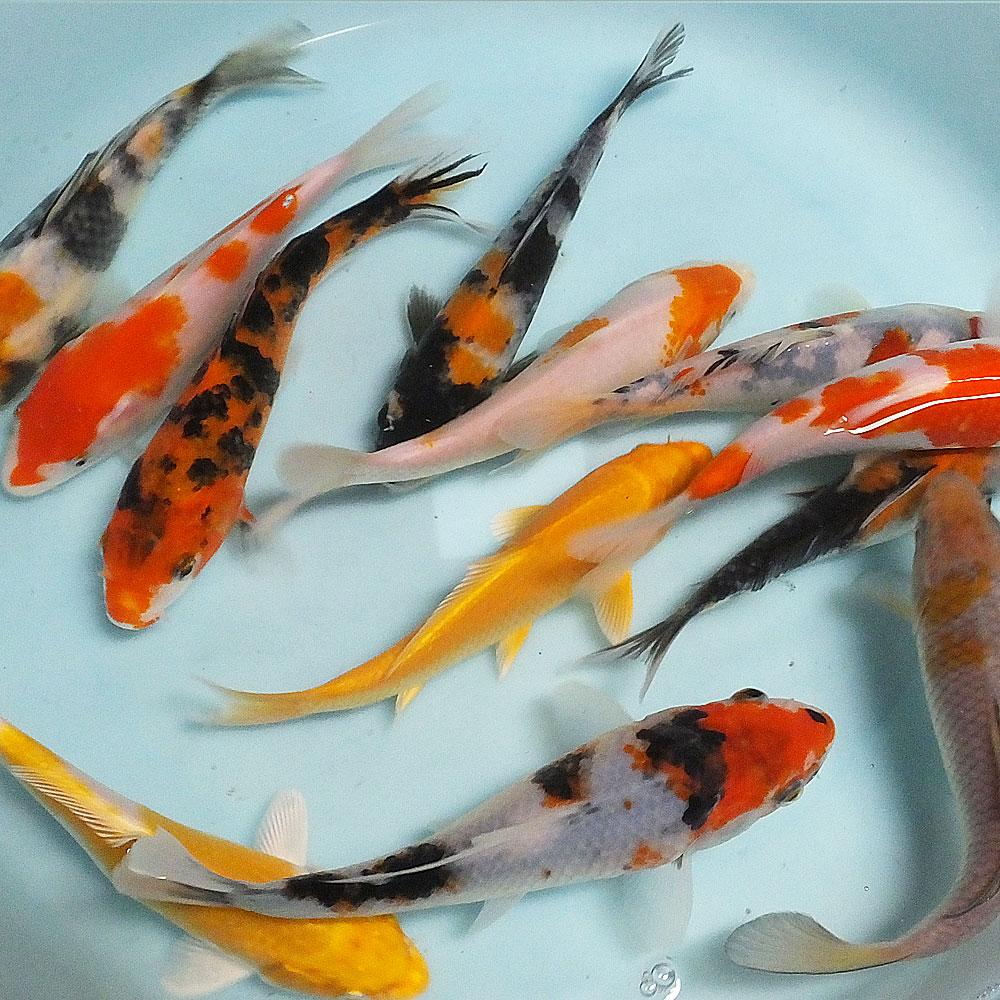 錦鯉Mix (L) 鯉 色鯉 16〜20cm前後 3匹 ニシキゴイ 生体 川魚 【2点以上7000円以上ご購入で送料無料】