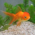 【国産金魚】更紗琉金M3匹琉金金魚