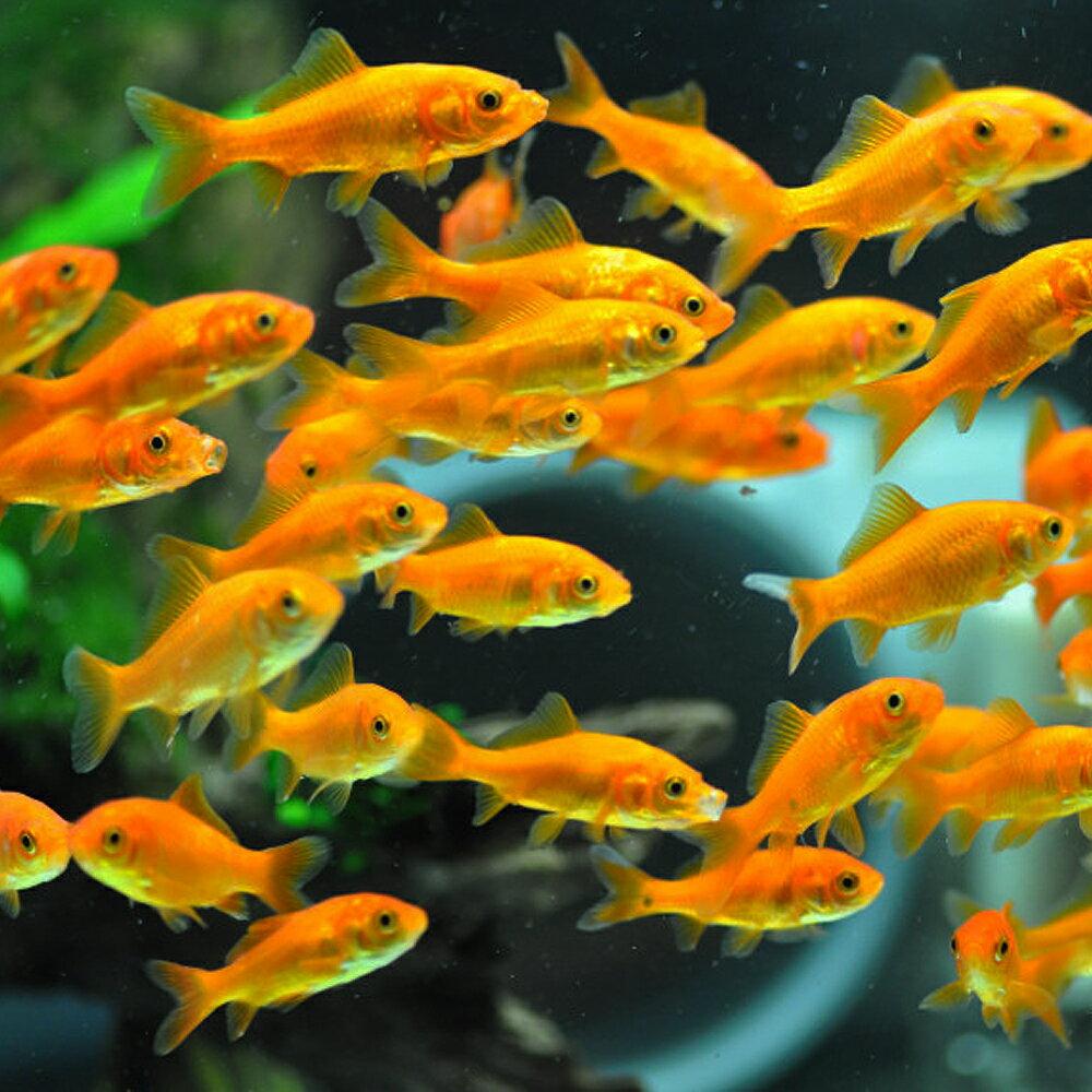 金魚 小赤 エサ用金魚 餌金 100匹 エサ 餌 生餌 餌金 生体【2点以上7000円以上ご購入で送料無料】