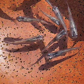雲龍メダカ(5匹)白錦メダカ 藍斑目高 すみれメダカめだか メダカ 変わりメダカ 川魚