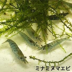 数量限定 ミナミヌマエビ100匹 エビ 飼育用・餌用にも! 川魚