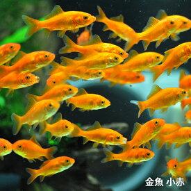 金魚 小赤 エサ用金魚 餌金 100匹 エサ 餌 生餌 餌金 生体 きんぎょ キンギョ