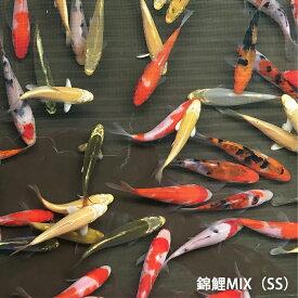 錦鯉MIX(SS)10匹 約7cm〜10cm前後 ニシキゴイ 紅白 昭和三色 光物 銀鱗 ドイツ 白写り べっ甲 秋翠 山吹黄金 松葉 生体 川魚