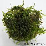 【国産金魚】らんちゅう当歳弥富産M(約5cm前後)3匹