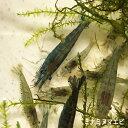 【数量限定】ミナミヌマエビ 50匹 エビ 飼育用・餌用にも! 川魚