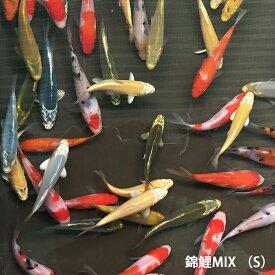 錦鯉MIX (S) 10匹 約10cm〜13cm前後 ニシキゴイ 紅白 昭和三色 光物 銀鱗 ドイツ 白写り べっ甲 秋翠 山吹黄金 松葉 生体 川魚