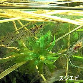 【数量限定】スジエビ100匹 エビ 飼育用・餌用にも! 川魚