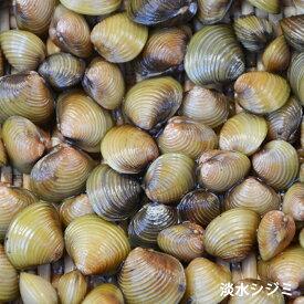 淡水シジミ 50匹 しじみ 川魚