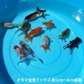 オタマ金魚ミックス 約3cm〜6cm前後 金魚ミックス(10匹) 川魚 金魚 きんぎょ キンギョ 生体