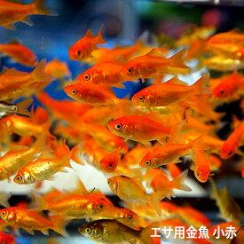 金魚 小赤 エサ用金魚 餌金 50匹 エサ 餌 きんぎょ キンギョ 生体