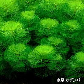 水草 カボンバ 金魚藻 <20本>メダカ カモンバ 【定形外送料無料】