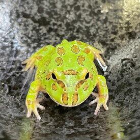 (両生類)クランウェルツノガエル ペパーミント(約3-5cm)(1匹)カエル