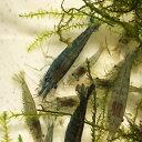【数量限定】ミナミヌマエビ 50匹 エビ 飼育用・餌用にも! 川魚 【2点以上7000円以上ご購入で送料無料】