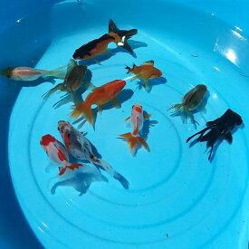オタマ金魚ミックス 約3cm〜6cm前後 金魚ミックス(5匹) 川魚 金魚 きんぎょ キンギョ 生体