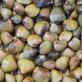 淡水シジミ 40匹 しじみ 川魚