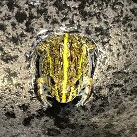 (両生類)アフリカウシガエル(約1-5cm)(1匹)カエル