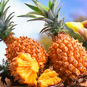 ※2020年収穫分 予約開始!!7月上旬発送 【送料無料!!】沖縄県産♪スナックパイン[約1kg:1-3玉]♪ボゴール