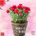 赤のカーネーション鉢植え(レッド)5号