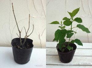 花木庭木の苗/アジサイ:アナベル4号ポット