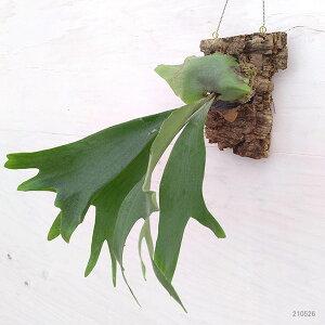観葉植物/コウモリランネザーランドコルク仕立て