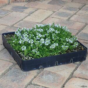 マット植物:タイム:クリーピングタイム白花のマット25cm×25cm1枚