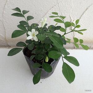 観葉植物/超わい性ゲッキツ:ナナ3〜3.5号ポット