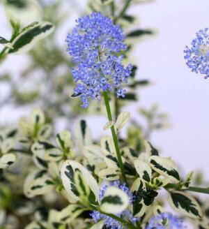 花木庭木の苗/セアノサス:クールブルー4号ポット