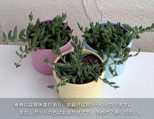 【ラッキーシール対応】観葉植物/ミカヅキネックレス3号ポット